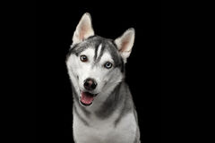 Siberian Husky Dog on  Black Background. Portrait of Siberian Husky Dog Curious Looking in camera on  Black Background, front view Royalty Free Stock Photo