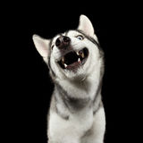 Siberian Husky Dog on  Black Background. Portrait of Stupid Face Siberian Husky Dog Smiling on  Black Background, front view Stock Image