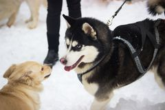 Siberian Husky dog black and white colour with blue eyes. In winter Royalty Free Stock Image