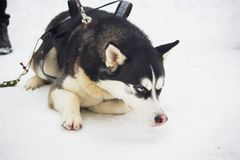 Siberian Husky dog black and white colour with blue eyes Stock Images