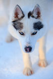 Siberian Husky dog black and white colour with blue eyes in winter Stock Photography