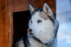 Siberian Husky dog black and white colour with blue eyes in winter Royalty Free Stock Image
