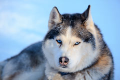 Siberian Husky dog black and white colour with blue eyes in winter Royalty Free Stock Images
