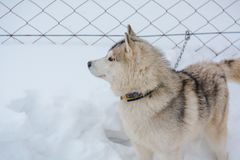 Siberian Husky dog black and white colour with blue eyes in winter Royalty Free Stock Photos