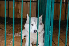 Siberian Husky dog black and white colour with blue eyes in winter Stock Images