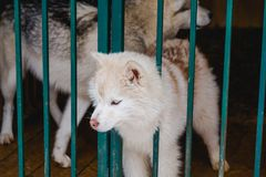 Siberian Husky dog black and white colour with blue eyes in winter Stock Image