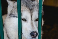 Siberian Husky dog black and white colour with blue eyes in winter Stock Photos