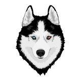 Siberian husky dog. Black and white Siberian husky with multi-colored eyes. Hand drawn portrait of dog. Vector illustration Stock Images