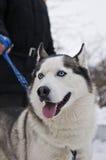 Siberian Husky Dog Stock Image