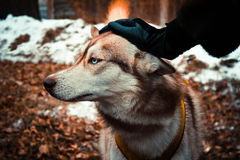 Siberian husky dog with blue eyes Stock Photos