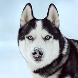 Siberian husky dog. With blue eyes outdoor in winter, snow nose, closeup Royalty Free Stock Image