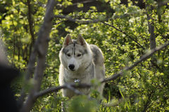 Siberian Husky dog breed is hiding in the bushes Royalty Free Stock Image
