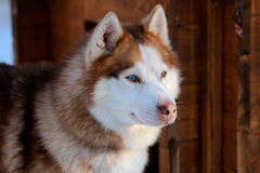 Siberian Husky dog brown colour with blue eyes in winter Stock Photos