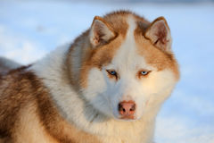 Siberian Husky dog brown colour with blue eyes in winter Royalty Free Stock Photo