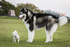 Siberian Husky dog and  chihuahua outdoors Stock Images