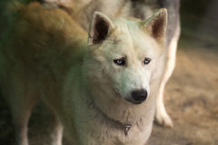 Siberian Husky dog Royalty Free Stock Photo