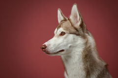 Siberian Husky dog. Close-up portrait Stock Image