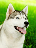 Siberian husky dog closeup portrait.  Stock Photo