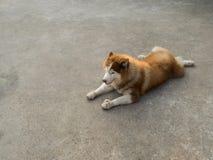 Siberian Husky  Dog Crouching Stock Photos