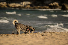 Siberian Husky Dog digging in the sand Stock Images