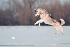 Siberian husky dog grey and white jumps in the snow meadow. Siberian husky dog plays on the winter snow frost ice royalty free stock photo