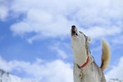 Siberian husky dog howling Royalty Free Stock Image