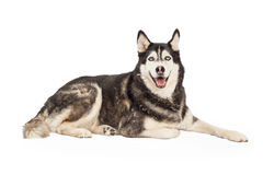 Siberian Husky Dog Laying Arkivfoton