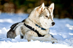 Siberian Husky Dog Laying In Snow Royalty Free Stock Image