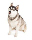 Siberian Husky Dog Licking Its Lips Stock Image