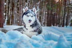 Siberian husky dog lies on snow in winter forest. Beautiful dog breed black and white color, blue eyes and with snow on muzzle. Royalty Free Stock Photography