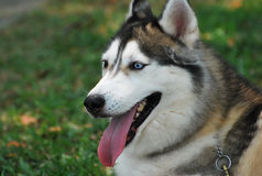 Siberian Husky. A Siberian husky dog looking at an object of interest at a park stock image