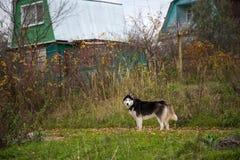 Siberian Husky Dog na rua na vila imagem de stock