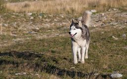 Blue & Brown Eyed Siberian Husky Royalty Free Stock Images