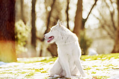 Siberian husky dog in outdoore. Siberian husky dog play on green grass and snow Royalty Free Stock Photography