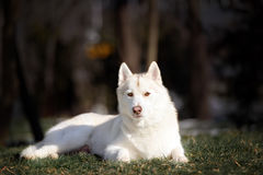 Siberian husky dog in outdoore. Siberian husky dog play on green grass and snow Stock Photo