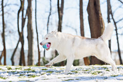 Siberian husky dog in outdoore. Siberian husky dog play on green grass and snow Royalty Free Stock Image