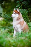 Siberian husky dog outdoors Royalty Free Stock Photography