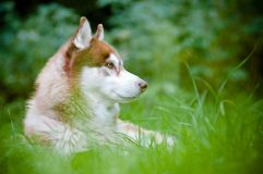 Siberian husky dog outdoors Stock Image