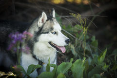 Siberian Husky dog outdoors Royalty Free Stock Images