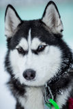 Siberian husky dog portrait Royalty Free Stock Image