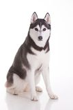 Siberian husky dog. Portrait of siberian husky dog Stock Image