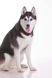 Siberian husky dog Royalty Free Stock Image