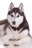 Siberian husky dog. Portrait of siberian husky dog Royalty Free Stock Image