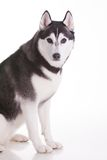 Siberian husky dog. Portrait of siberian husky dog Royalty Free Stock Photography