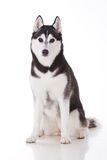 Siberian husky dog. Portrait of siberian husky dog Stock Images