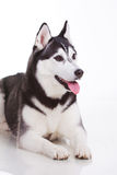 Siberian husky dog. Portrait of siberian husky dog Stock Photos
