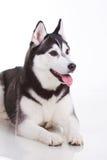 Siberian husky dog Stock Photos