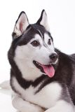 Siberian husky dog. Portrait of siberian husky dog Royalty Free Stock Photos