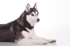 Siberian husky dog. Portrait of siberian husky dog Stock Photography