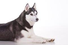 Siberian husky dog Stock Photography